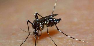 Комары Aedes имеют черно-полосатую окраску и уступают по размеру местным комарам.