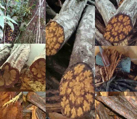 Аяхуаска - Научные исследования