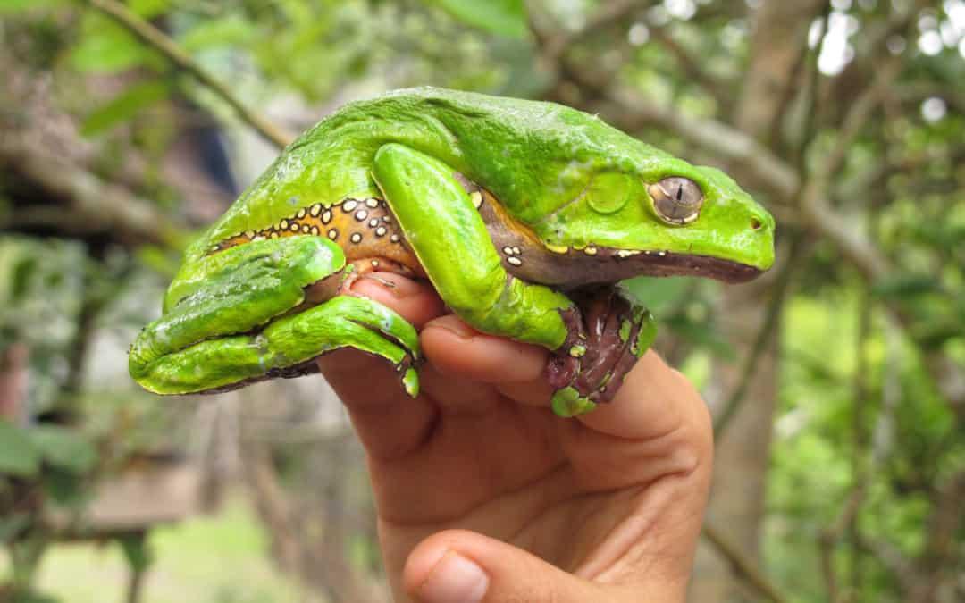 Лягушка Сапо