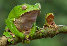 Лягушка Камбо