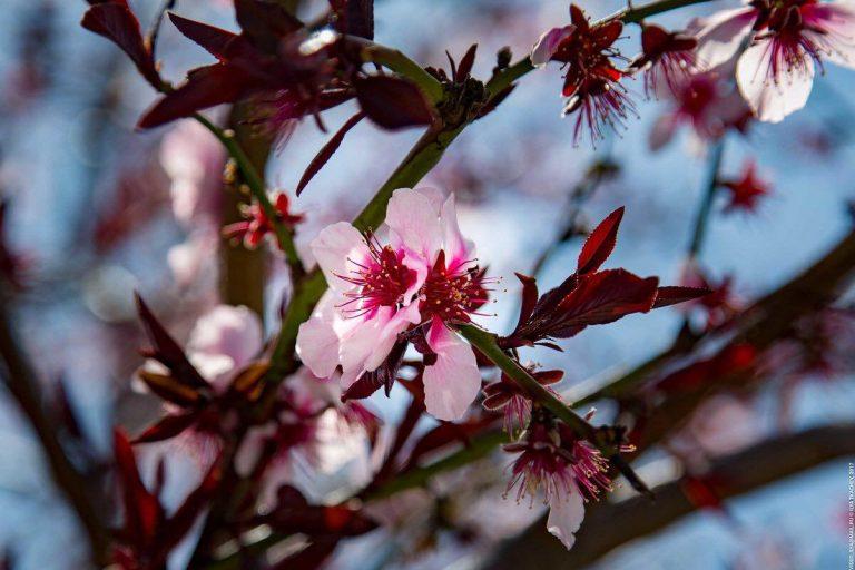 ВСантьяго дель Тейде цветет Миндаль