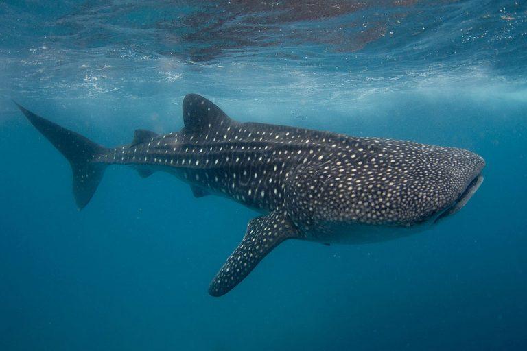 Гигантский экземпляр самой крупной рыбы вмире посетил Эль Йерро