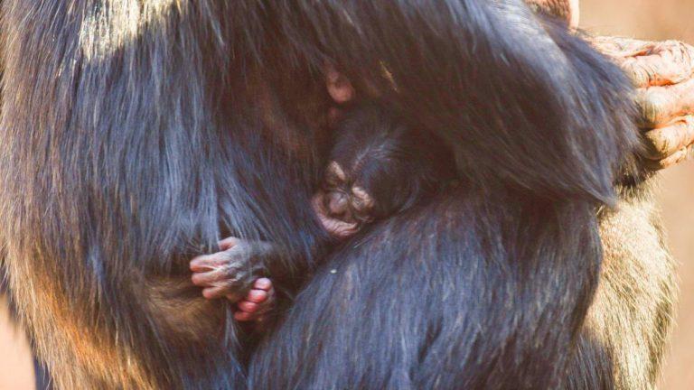 В Лоро Парке появился на свет детёныш Шимпанзе